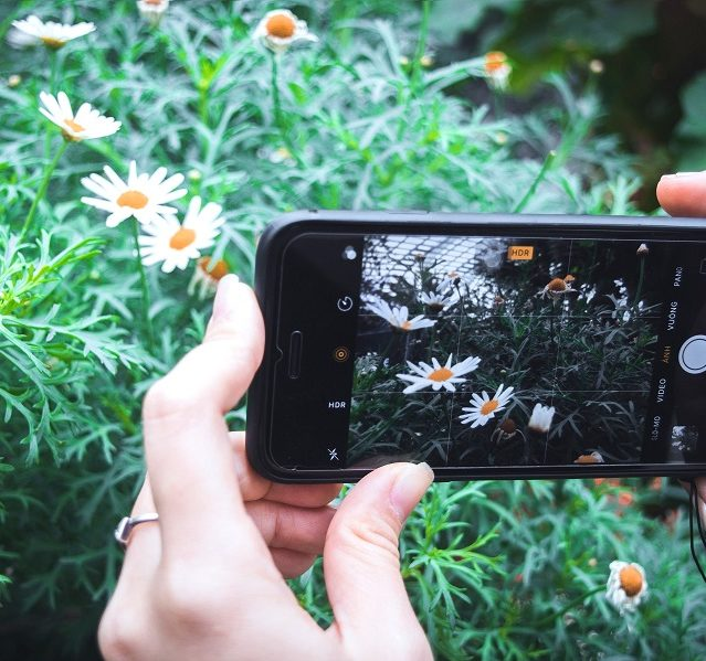 A person takes a photograph of blooming daisies using their mobile phone.