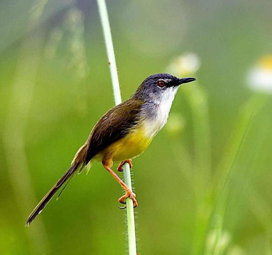 A yellow-bellied prinia perching on a blade of grass