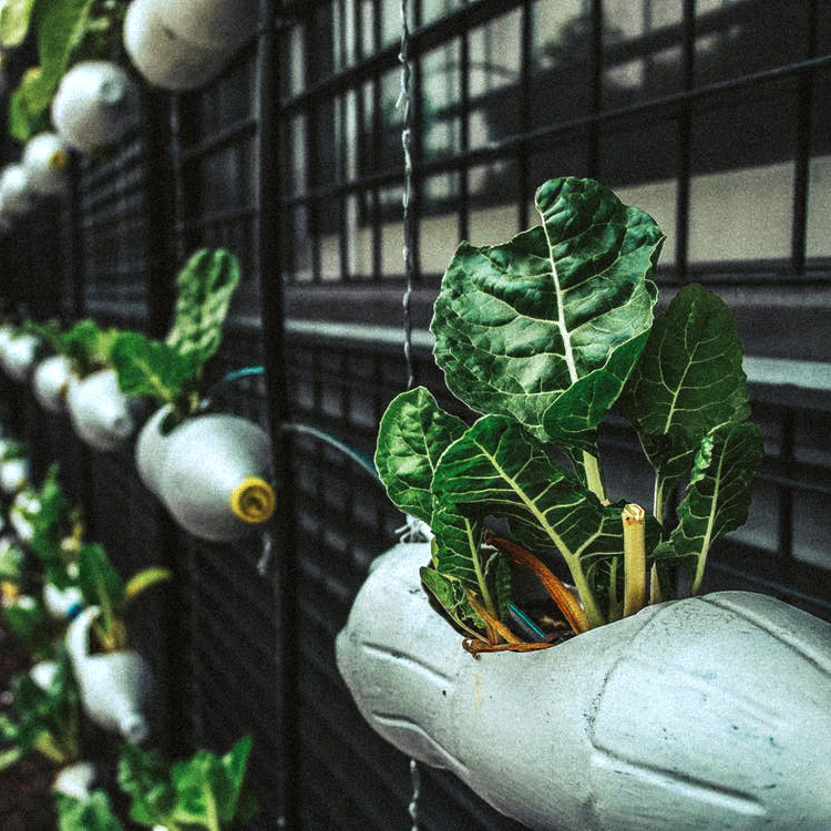 A vertical garden attached to the outside wall of a building with swiss chard growing out of recycled 1 litre pop bottles.
