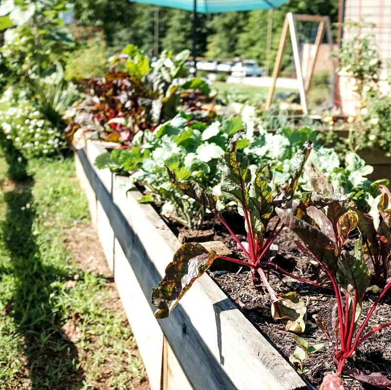 A raised wooden planter box overflowing with swiss chard and other greens in a community garden.